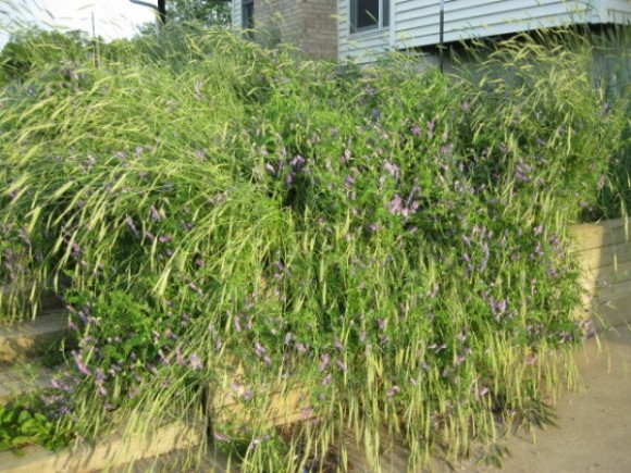 Rye and Vetch bed