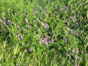 hairy vetch up close